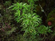 Raukaua-edgerleyi-juvenile