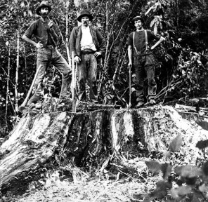 Totara logging