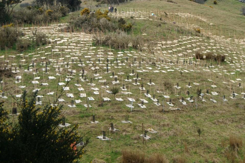Kanuka Planting Area